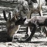Fotó: Bolyhos kis rénszarvasok születtek a Nyíregyházi Állatparkban