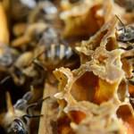 Megvan az adat: zuhanórepülésben a mézelő méhkolóniák száma