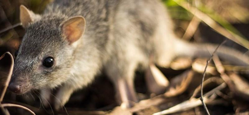 Aranyos, de már nem sokáig: kihalhatnak a minikenguruk