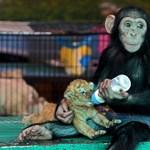 Hihetetlen fotó: csimpánz viseli gondját egy tigrisbébinek