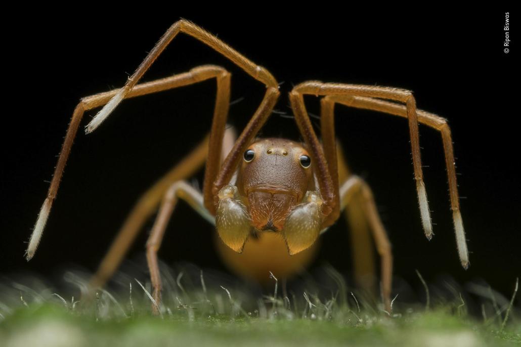 NAGYÍTÁS NE HASZNÁLD Rákpókot utánzó hangya