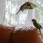 És akkor jöttek, és már vitték is a papagájokat...mind a négyet...