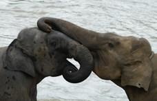 Orvvadászok miatt születik egyre több agyartalan elefánt