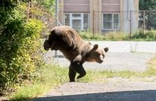 Két nap alatt két medvét is elgázoltak az erdélyi utakon – videó