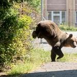 Fogaras központjában randalírozott egy medvecsalád, elzavarták őket