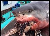Teknős szorult a hatalmas cápa szájába, el is pusztult miatta
