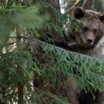 Melyikük a legkövérebb medve? Szavazzon még a téli álmuk előtt!