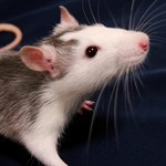 Megbánják rossz döntéseiket a patkányok