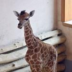 Fotó: Nevet kapott a Fővárosi Állatkert legifjabb zsiráfja