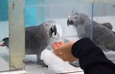 Szívmelengető kísérlet mutatta meg, mennyire együttérzők a papagájok – videó
