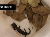Videó: Kétfejű gyíkot találtak Ausztráliában