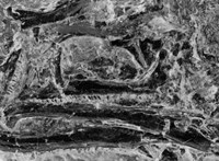10 centis, de nagyon izgalmas: 240 millió éves törpeszauruszt fedeztek fel Németországban
